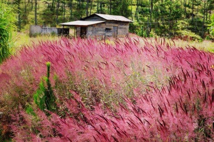 Checkin Đồi cỏ lau rực hồng ở Đà Lạt